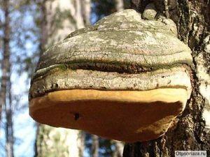 берёзовый гриб