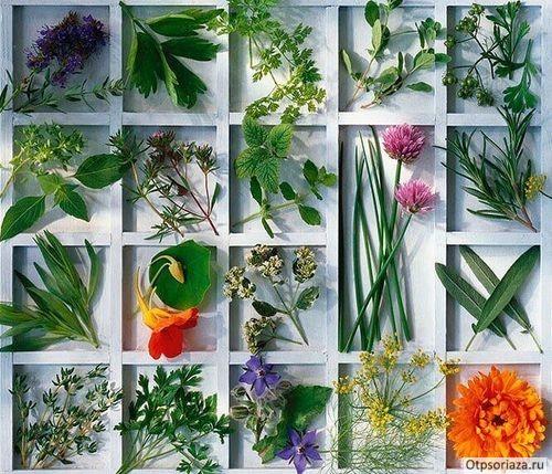 Сборы трав от псориаза